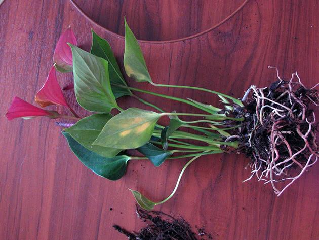 Пересадка антуріуму під час цвітіння