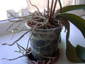 Пересадка орхідеї. Коли пересаджувати орхідею