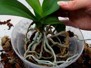 Очищаємо корені орхідеї від землі