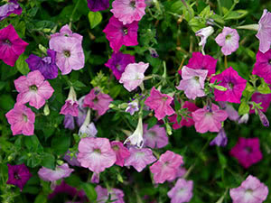 Petunia flower – planting and care