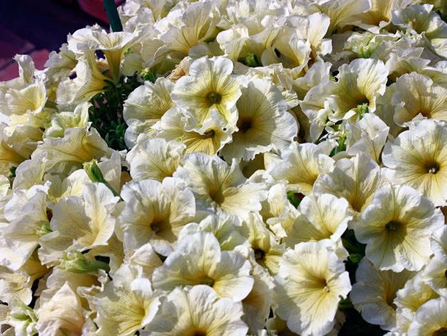 Petunia planting