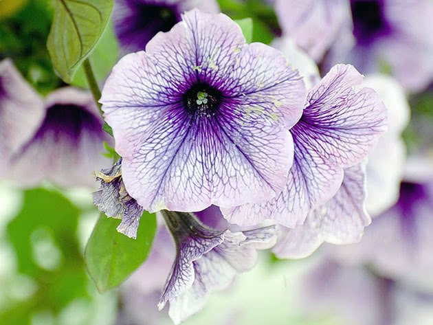 Light purple petunia