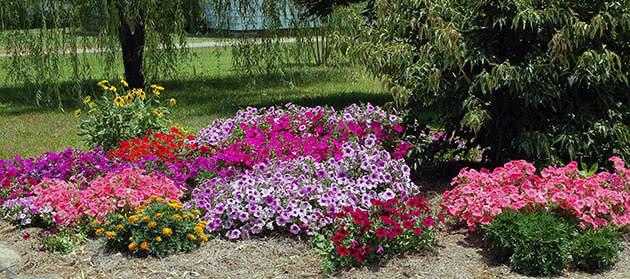 Petunia on the flowerbed