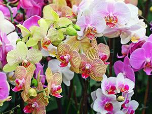 Орхідея фаленопсис – догляд у домашніх умовах