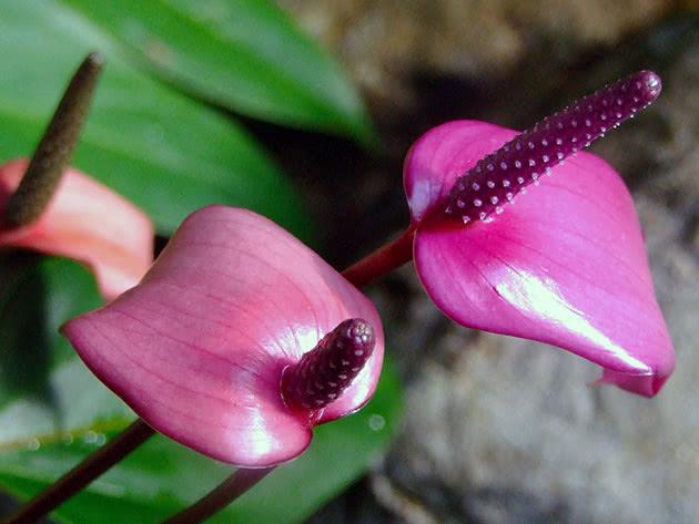 Цвітіння філодендрона Андре