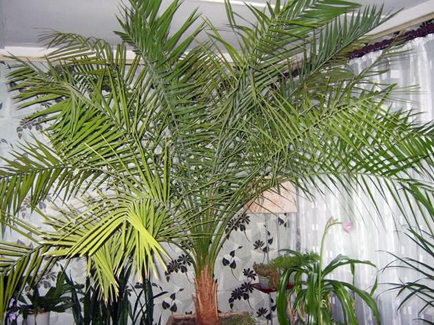 Домашня фінікова пальма