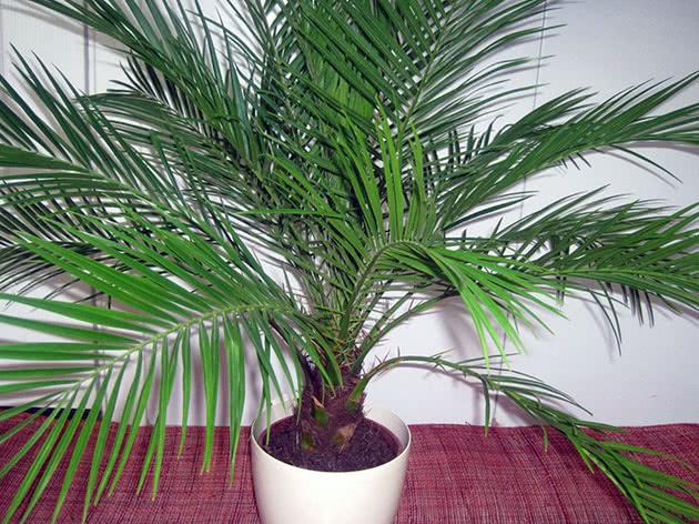 Кімнатна фінікова пальма