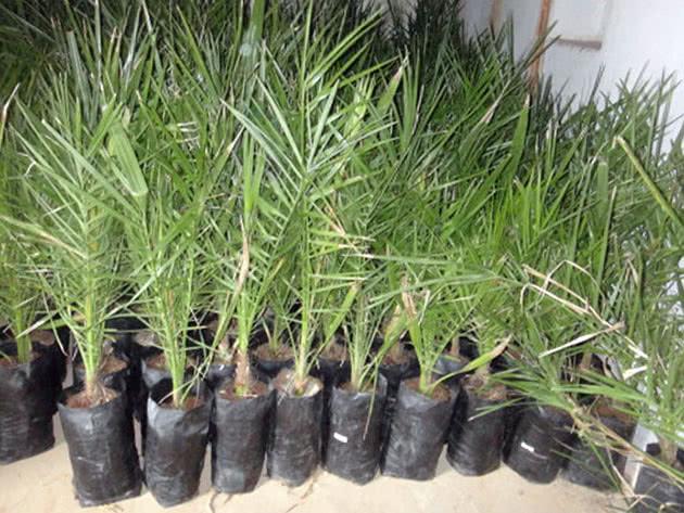 Саджанці фінікової пальми