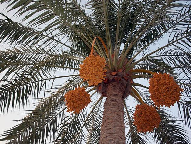 Дерево фінікової пальми