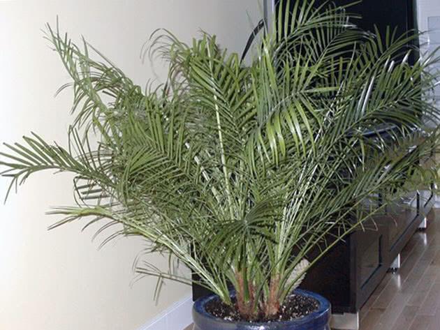 Вайї фінікової пальми