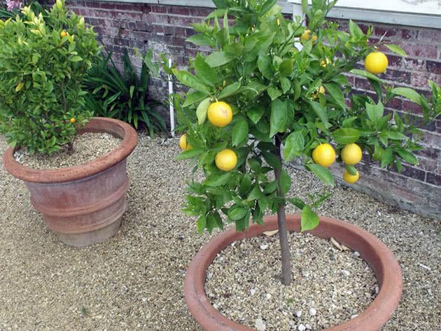 Домашний лимон – очень полезное растение