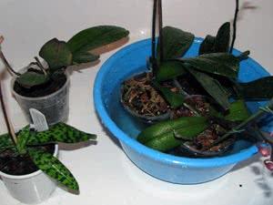 Правильний полив орхідеї