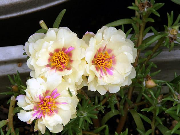 Портулак великоквітковий / Portulaca grandiflora