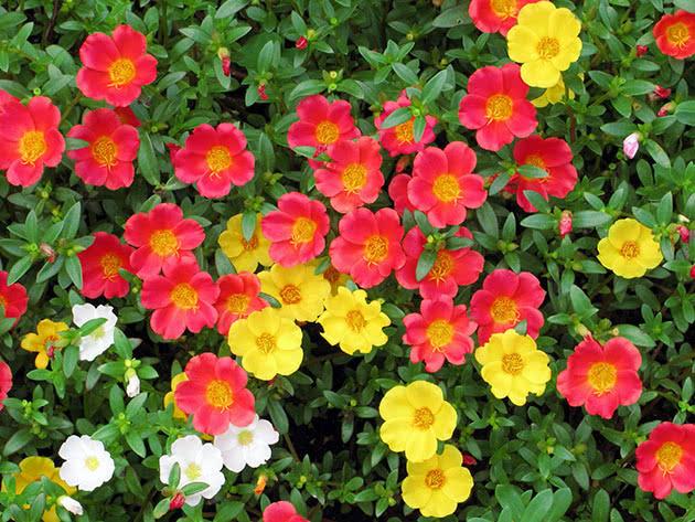 Портулак огородный, или портулак овощной / Portulaca oleracea
