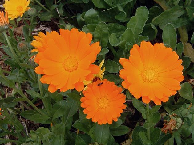 Семена календулы можно сеять осенью