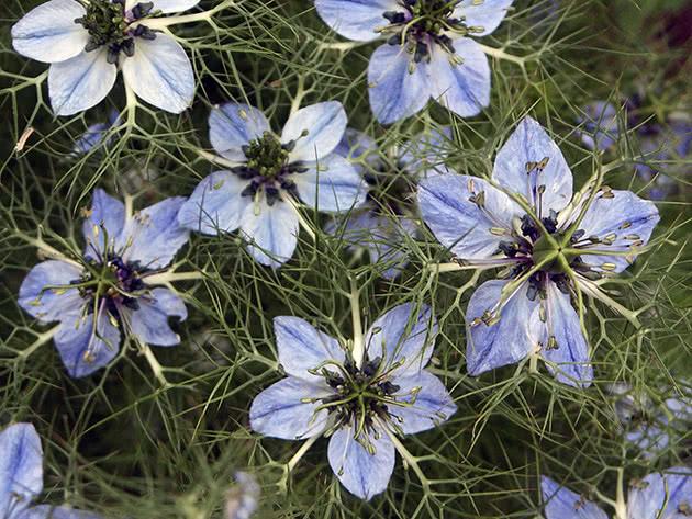 Нигелла – цветок, который сеют осенью