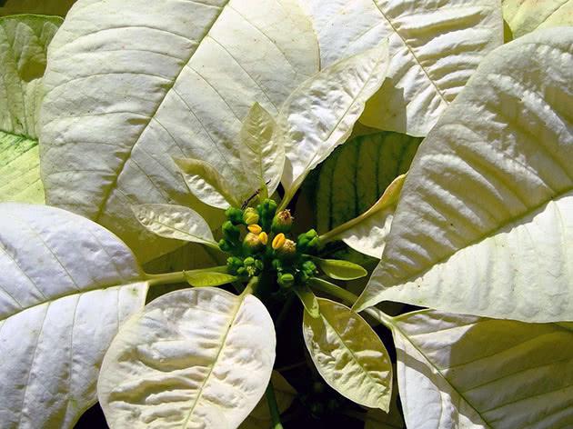Light yellow poinsettia