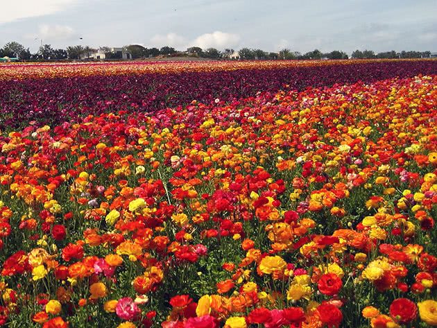 Field of ranunculus (buttercups)