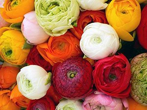 Цветок ранункулюс (лютик)