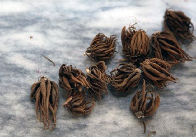 Storage of ranunculus bulb (tubers)