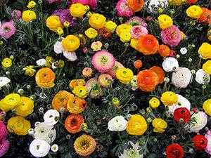 Цветы лютики или ранункулюс