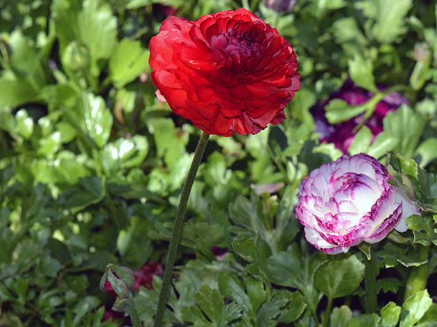 Цветущий садовый лютик