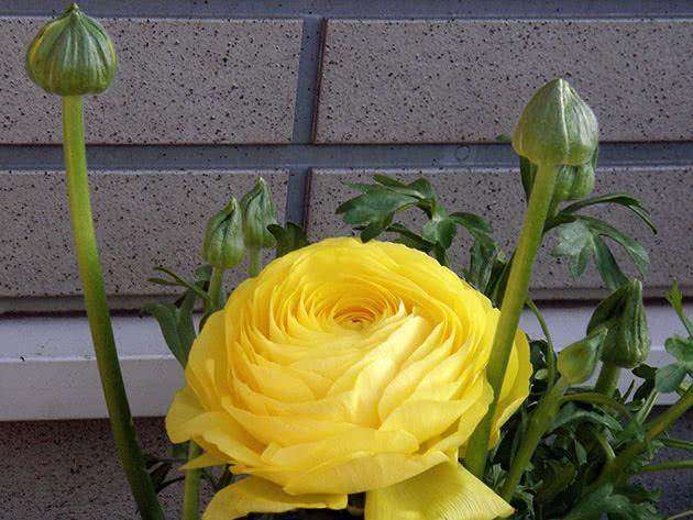 Лютик садовый, или гибридный, или лютик азиатский, или ранункулюс азиатский / Ranunculus asiaticus
