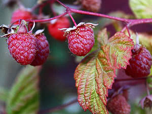 Raspberry bushes in the garden