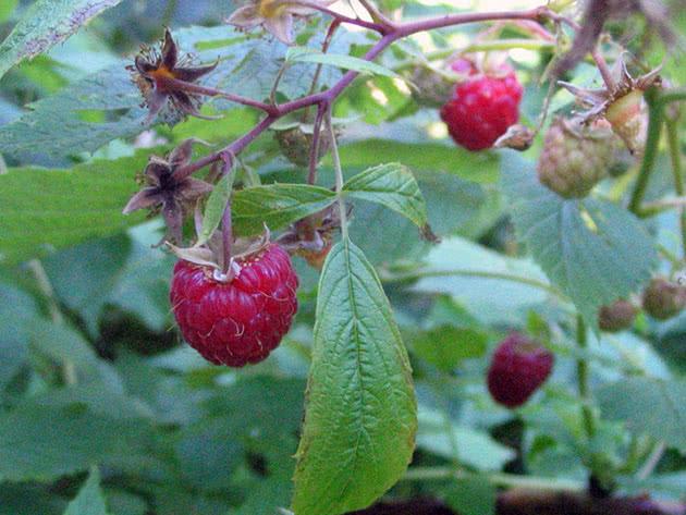 Ripe raspberries on a bush
