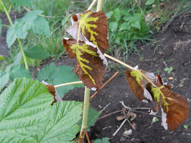 Raspberry leaves turn yellow