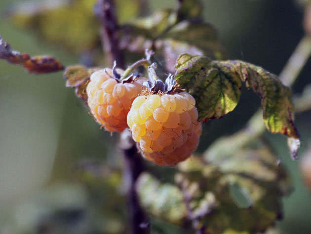 The berry of yellow raspberry