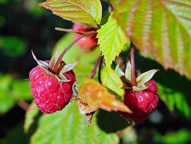 Raspberry on a bush in the garden
