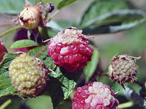 Болезни малины и их лечение
