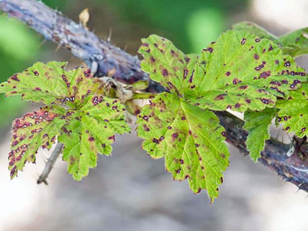 Пятна на листьях малины