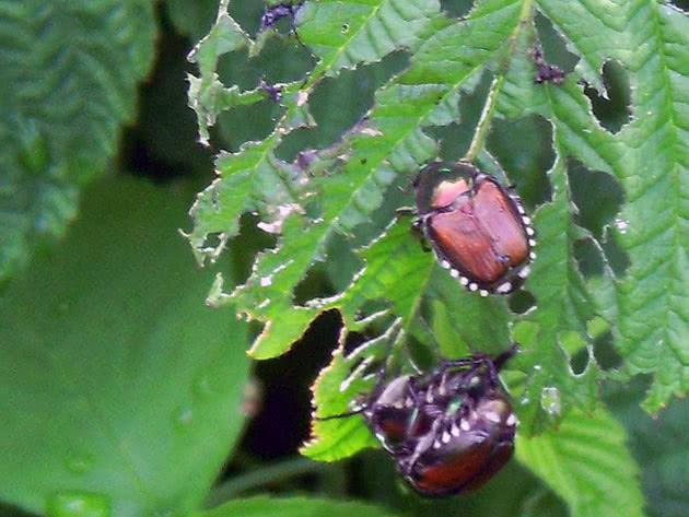 Жуки на листьях малины