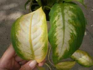 Жовтіє листя дифенбахії
