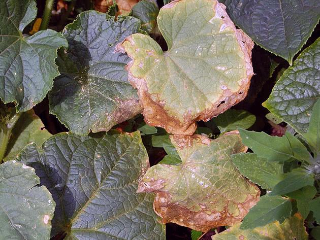 Почему сохнут листья растений