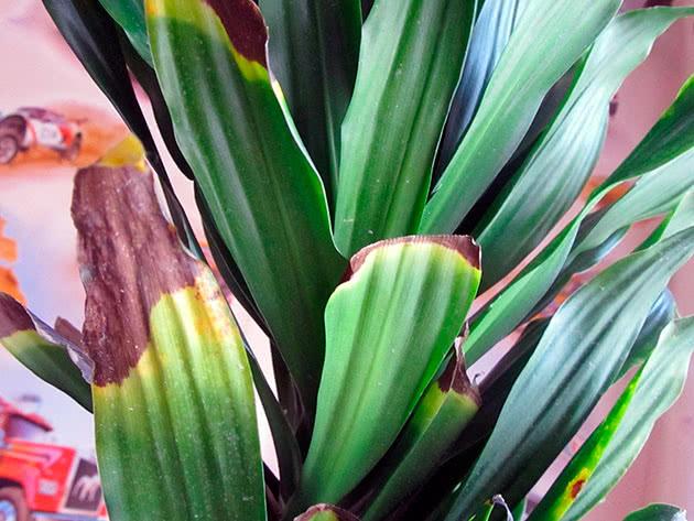 Сохнут кончили листьев растений