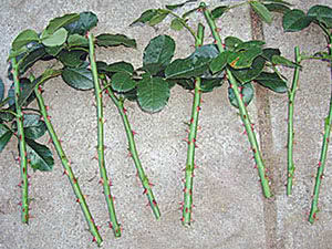 Reproduction of Roses by Cuttings