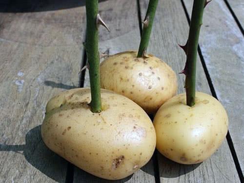 Cuttings of roses in potatoes