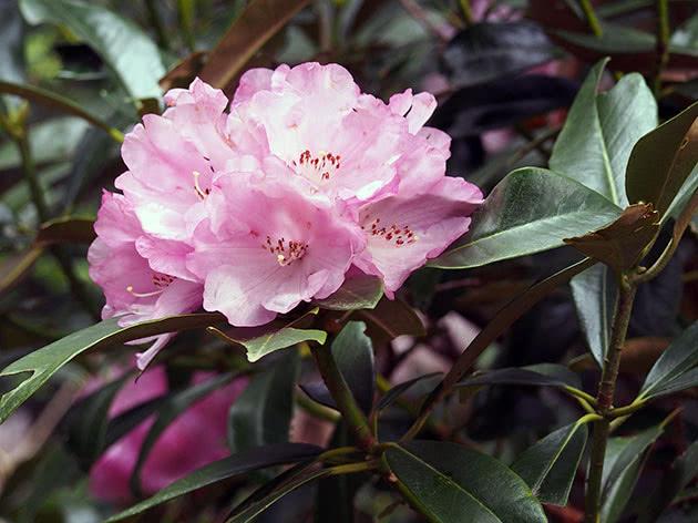 Рододендрон садовий