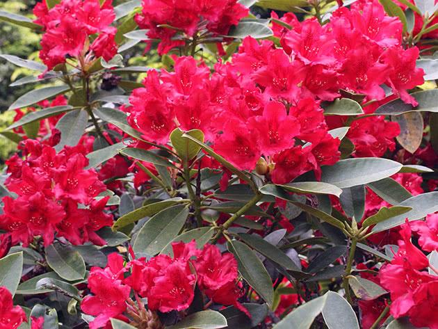 Квітучий садовий рододендрон