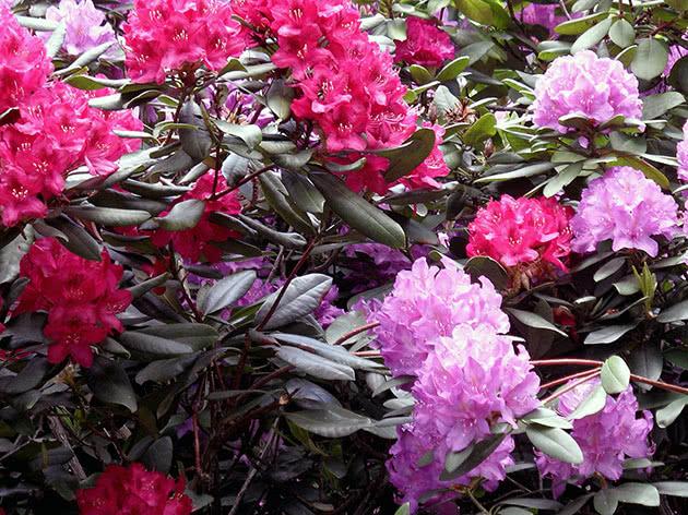 Рододендрон у саду цвіте