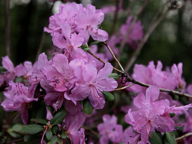 Рододендрон даурський / Rhododendron dahuricum