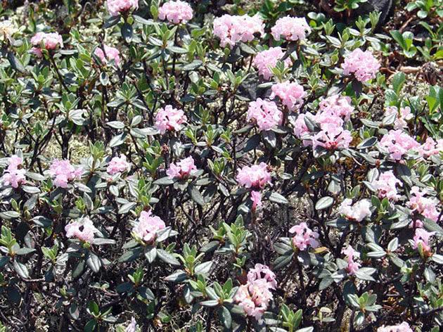 Рододендрон Адамса / Rhododendron adamsii