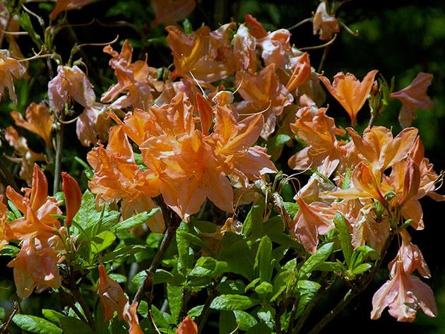 Рододендрон японський / Rhododendron japonicum