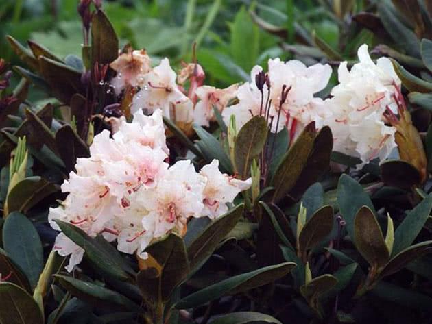 Рододендрон кавказький / Rhododendron caucasicum