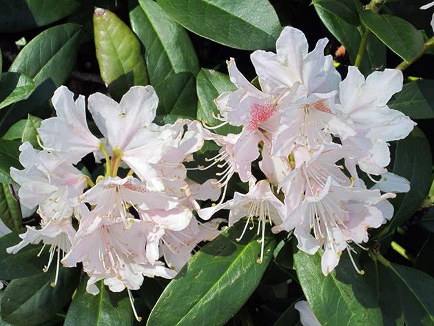 Суцвіття рододендрона