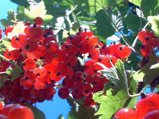 Червона смородина в саду