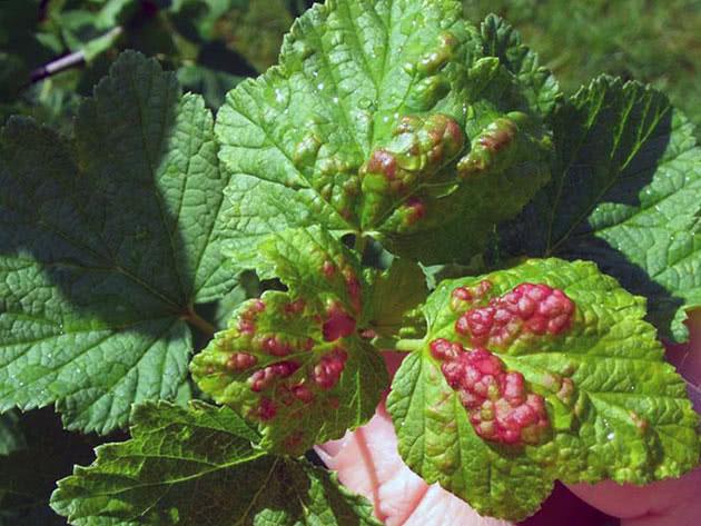 Плями на листі смородини